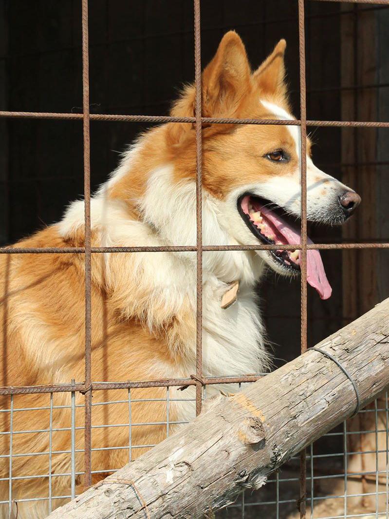 Koirien Luovutusikä
